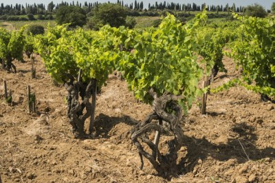 The stony clay soil of Santa Duc's Hautes Garrigues produces superb Gigondas